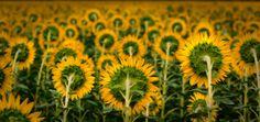 Sunflower's army