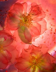 "Scanography with gorgeous flowers. Love the crimson! ""Transparent Delight"" - Roberta Bailey"