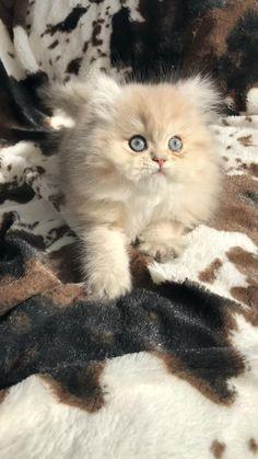 Teacup Persian Kittens, Teacup Kitten, Persian Kittens For Sale, Kitten For Sale, Kittens Cutest, Cats And Kittens, Cute Cats, Metal Furniture, Furniture Design