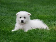 American Eskimo Dog Puppy ♡