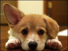 Welsh Corgi Puppy-- just want to love him forever