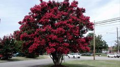 Black Diamond Crepe Myrtle...beautiful in Best Red variety, with gorgeous red flowers.