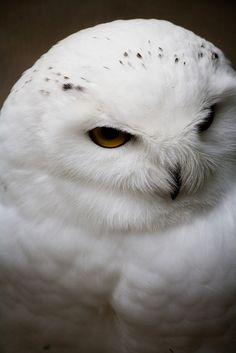 Pure White - Wildpark Poing  Name: Bubu Bubu Sibiricus - a white eagle owl.