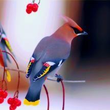 multicolor-birds-waxwing