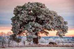 Frozen Mänd by kaizross Estonia cold field ice nature old pine snow sunset tree white winter Frozen Mänd kaizross Hopes And Dreams, Winter White, Winter Wonderland, Frozen, Leaves, Earth, Snow, Nature, Outdoor