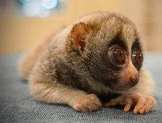 #DidYouKnow that the Slow Loris is the only poisonous primate. | Twitter: @frontiergap | www.frontiergap.com | blog.frontiergap.com | #slowloris #primate #animalfact #animal #species #conservation