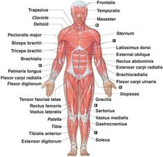 musculoskeletal system diagram diagram picture anatomy