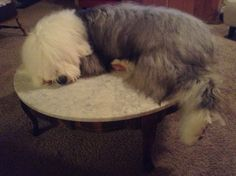 Dugan, 10 month old, old english sheepdog napping on table.