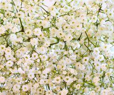 Gypsophila : Semis, entretien, culture et arrosage