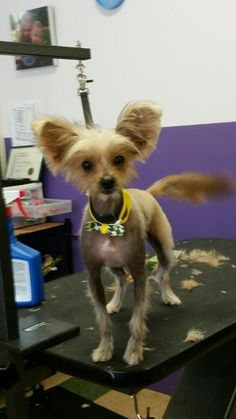 You can fill out an adoption application online on our official website.Meet Cassidy, a one and a half year old Chinese Crested Mix!Meet Cassidy, a one and a half year old Chinese Crested Mix!