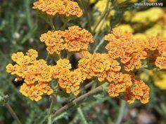 yellow orange Statice - so pretty!