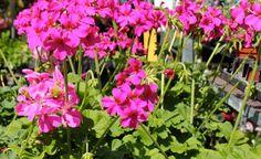 Flowers for Container Gardening - Pelargonium