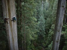Redwood Tree, California