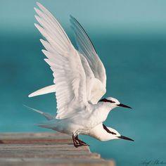graceful terns