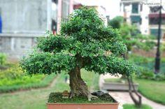 bonsai-17