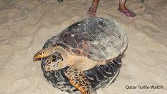 Rush360 Qatar: Qatar Turtle and Marine Watch!