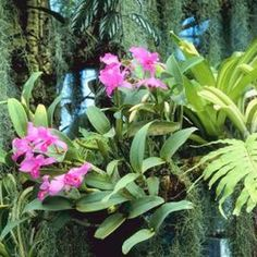 Orchids grow attached directly to trees in nature.