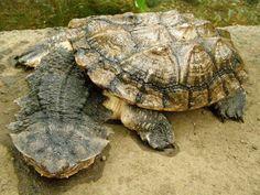 La matamata o tortuga matamata (Chelus fimbriatus) es una tortuga de la familia Chelidae originaria de Sudamérica. Es la única especie delgénero Chelus.