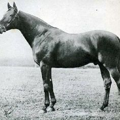Teddy, the amazing French foundation sire for so many show jumping lines, such as the great Cor de la Breyere.