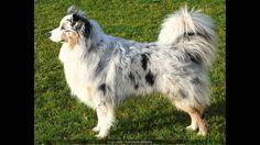 australian husky | Australian Shepherd Mixed With Husky Australian Shepherd And Husky