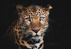 Panther, Animals, Animales, Animaux, Panthers, Animal, Animais, Black Panther