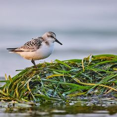 Calidris alba I.jpg (Salvetti Alberto / Bardolino / Italy) #Canon EOS-1D X Mark II #animals #photo #nature