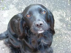 black puppies | Cocker Spaniel Information and Pictures, Cocker Spaniel