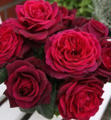 Růže keřová extra voňavá ´GRAFIN DIANA®´ ***** ADR, Kordes 2012, 20-30 cm, kont. 2 l Diana, Geranium Vivace, Hybrid Tea Roses, Love Rose, Plantation, Botany, Flower Power, Flower Arrangements, Bouquet