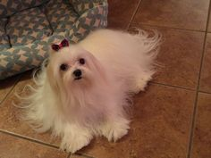 """Trixie looks just like the Maltese I used to have.  They are beautiful Dogs and make great companions.   I got """"Mollie"""" at the Humane Society.  What a Blessing she was."""