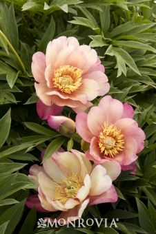 'Julia Rose' This gorgeous early bloomer grows quickly, requires no staking, and produces loads of spicy-scented blooms. Peach, pink, and yellow flowers often appear on 'Julia Rose' all at once. 'Julia Rose' Don't Judge Peonies On Looks Alone Amazing Flowers, Pink Flowers, Beautiful Flowers, Coral Peonies, Peony Flower, Flower Art, Peony Rose, Tree Peony, Fine Gardening