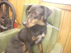 #OHIO #GassingShelter ~  ID 3 STRAY AVAIL. 2-25-14 ( 1 YR & NEUTERED ) is a Black Mountain Cur dog mix in need of a loving #adopter / #rescue at CARROLL COUNTY DOG POUND 2185 Kensington Rd NE Route 9  #Carrollton OH 44615 Ph 330-627-4244