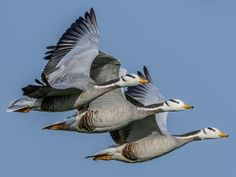 Bird Flu, Shorebirds, Sea Birds, January 8, Regional, Ducks, Animals, Bar, Animales