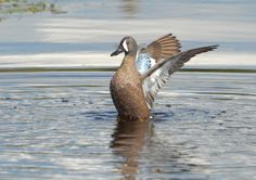 Wing Flap - A male Blue-winged Teal duck flaps it's wings in the Florida wetlands.