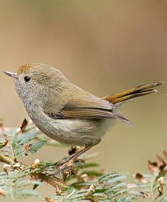 ˚Tasmanian Thornbill (Acanthiza ewingii) Tasmania  by Tim Collins @ Flickr
