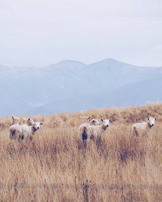 Hey'a cuties  #newzealand #sheeps #lakeohau #southislandnz #photography #wonderlustnz #goodlife
