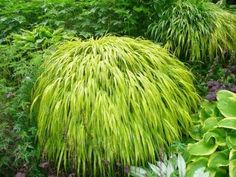 hardy to zone 5! care requirements for Japanese Forest Grass. Likes shade.
