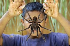 This is Orlando, an awesome young lad from the Piaroa tribe of southern Venezuela holding up a small snack that he caught in the forest near his home. The Goliath tarantula is the biggest spider in the world. He barbecued it over a fire and it tasted kind of similar to crab