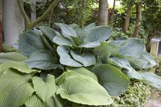 """Hosta 'Empress Wu' was named in honor of the only female emperor to rule China. This impressive hosta towers above any other hosta plant! The strong clump forming plants are fast growers with an outstanding upright growth habit. The massive leaves measure 18"""" wide. Lavender flowers appear on 5 foot tall scapes in midsummer. This extremely large hosta will grow 4 feet tall by 5-6' wide."""