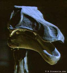 Crâne de Gallimimus