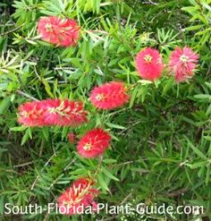 Red Cluster Bottlebrush Tree Callistemon rigidus Red Cluster bottlebrush in tree form makes a showy specimen, with its bushy, upright growth habit and bright red blooms.