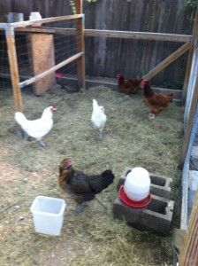 How to raise chickens.  So super helpful for those of us who have no idea what we're doing ;)