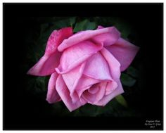 Learn About Grandiflora Roses And Hybrid Tea Roses