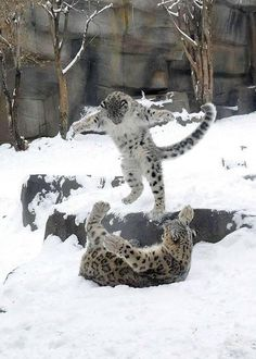 snow leopard play fighting