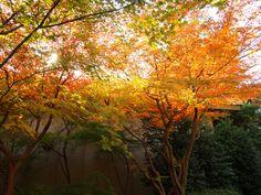#momiji, #maple, #autumn leaves, #garden, #beautiful,