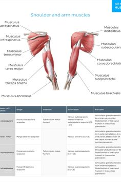 Validated and aligned with popular anatomy textbooks, these #muscle #cheatsheets are packed with high-quality illustrations. You'll be able to clearly visualize #muscle locations and understand how they relate to surrounding structures.  Grab one of the four eBooks to speed up your anatomy studies. Arm Anatomy, Anatomy Study, Muscle Structure, Muscle Function, Human Muscle Anatomy, Muscular System, Arm Muscles, Apple Books, Nursing Tips