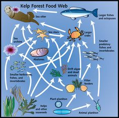 Kelp Forests provide a habitat that gives many species shelter and shade. The shade provided by the kelp also give the soft red and pink algae perfect growing conditions, which is eaten by many. Science Resources, Science Activities, Science Vocabulary, Ocean Food Chain, Ocean Food Web, Science Fair Projects, School Projects, Forest Classroom, Weird Sea Creatures