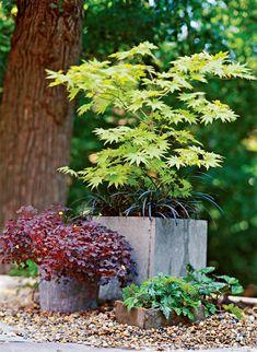 Japanese Maple Tree Varieties, Japanese Maple Garden, Dwarf Japanese Maple, Japanese Maple Trees, Japanese Garden Plants, Japanese Gardens, Vintage Garden Decor, Vintage Gardening, Pot Jardin