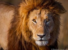 An impressive male lion photographed in the Masai Mara. | Photo by Will Burrard-Lucas at http://www.burrard-lucas.com/