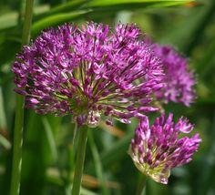 LOVE and MAKE ROOM FOR: Allium hollandicum (purple sensation)