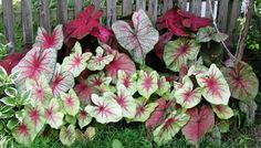 Caladium for my new flower bed